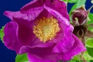 Rosa-rugosa-Flower-Rubra