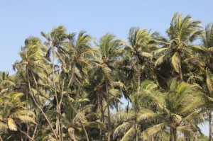 swaying-coconut-trees